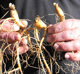 5 year old ginseng roots